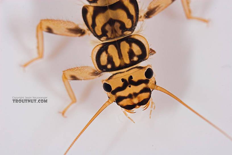 Agnetina capitata (Golden Stone) Stonefly Nymph from Salmon Creek in New York