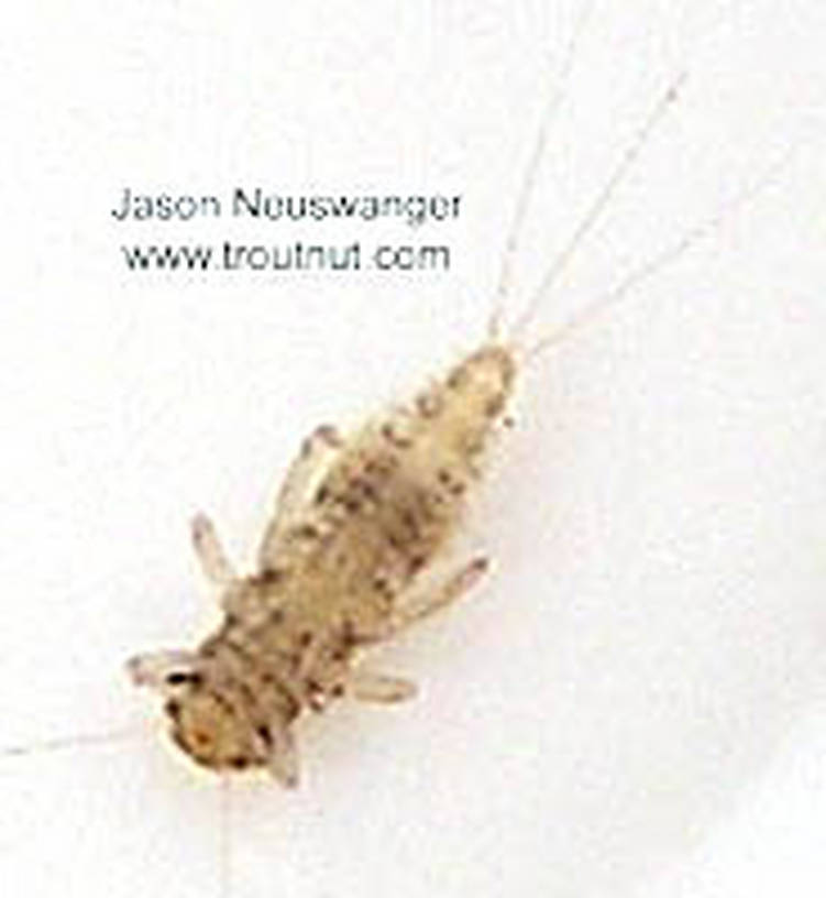 Caenis (Angler's Curses) Mayfly Nymph from unknown in Wisconsin