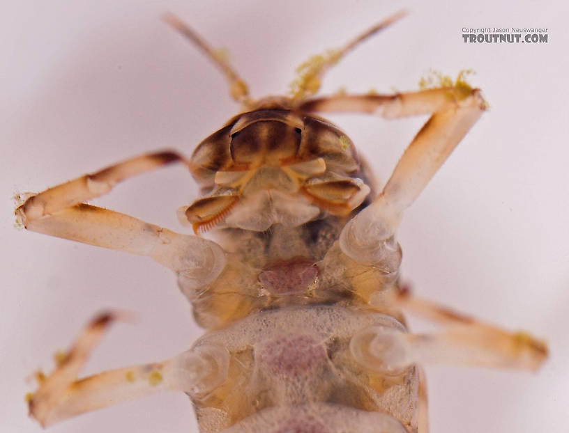 "The ""combs\"" visible on the mouth parts in this image are an identifying characteristic of Ameletus.  Ameletus ludens (Brown Dun) Mayfly Nymph from Salmon Creek in New York"