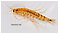Amphipoda (Scuds) Arthropod Adult