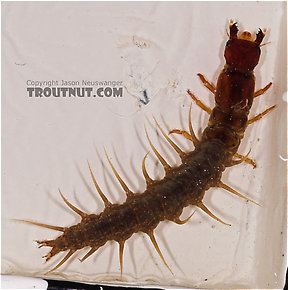 Nigronia serricornis (Fishfly) Hellgrammite Larva