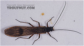Taeniopterygidae (Willowflies) Stonefly Adult