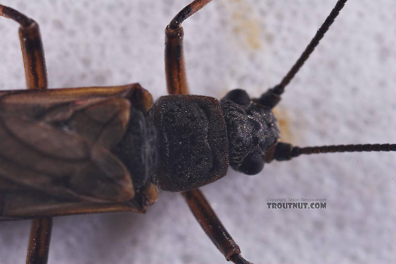 Taeniopterygidae (Willowflies) Stonefly Adult from Salmon Creek in New York