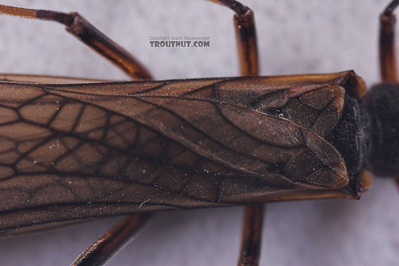 Taeniopterygidae (Willowflies) Stonefly Adult from Salmon Creek in New York
