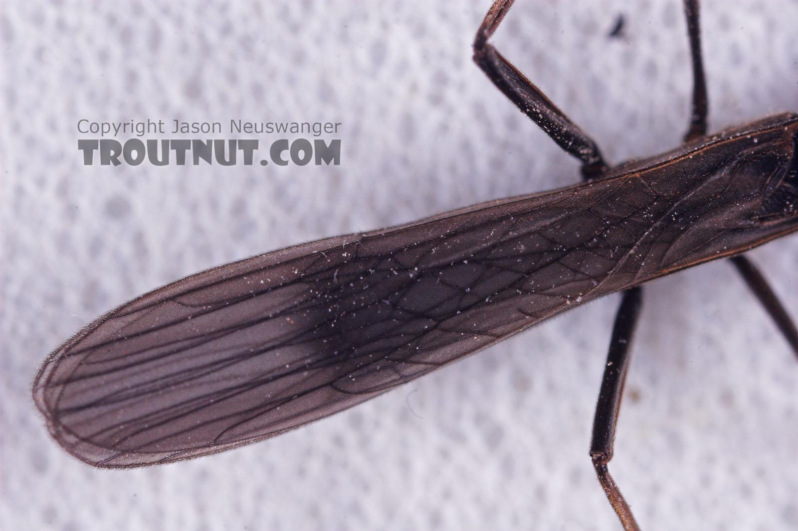 Capniidae (Snowflies) Stonefly Adult from Salmon Creek in New York