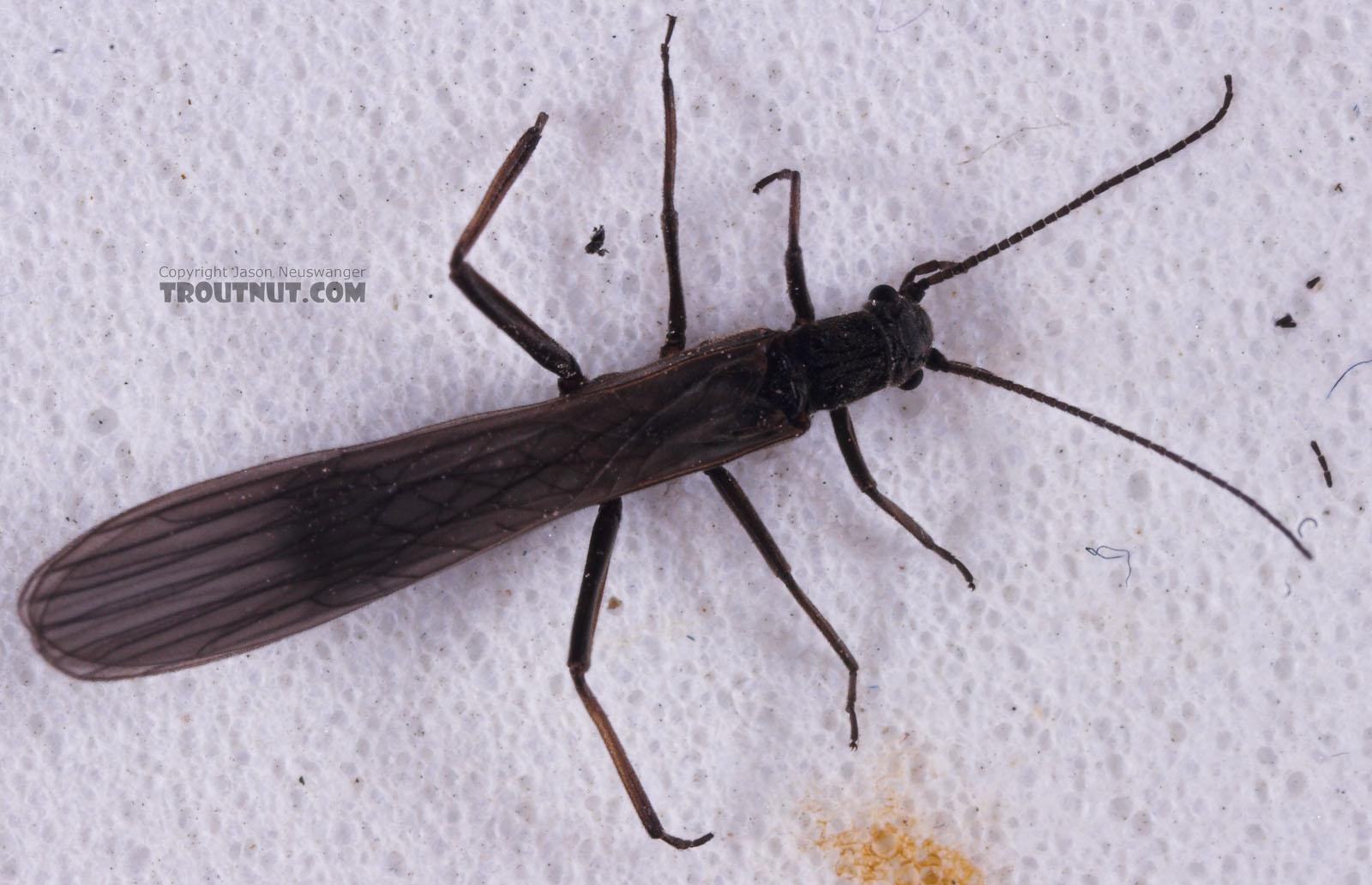 Capniidae (Snowflies) Stonefly Adult from Salmon Creek in New York