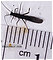 Capniidae (Snowflies) Stonefly Adult