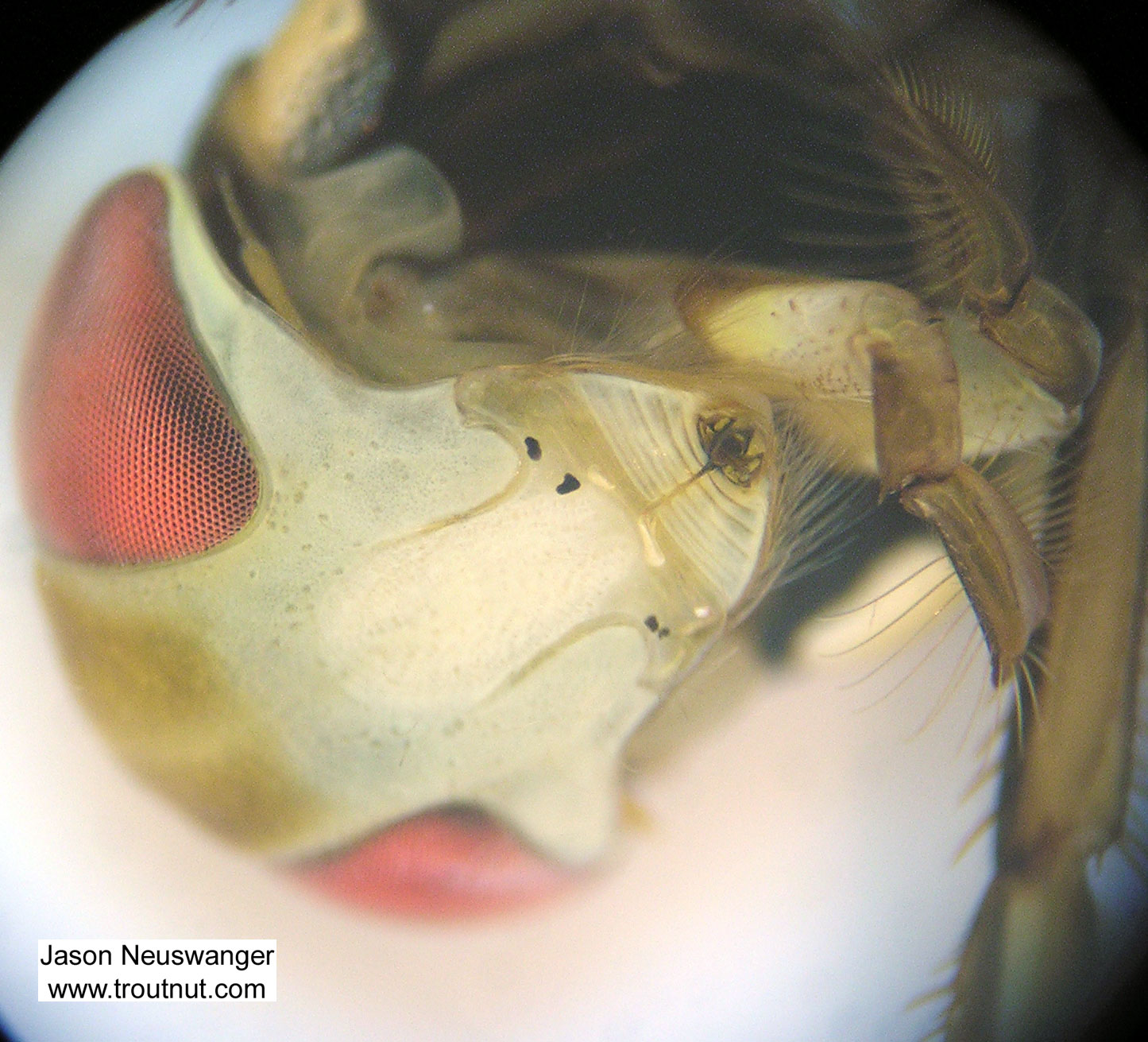 I really like this view through the microscope of a water boatman's mouth and metallic-looking compound eyes.  Sigara Water Boatman Adult from Fall Creek in New York