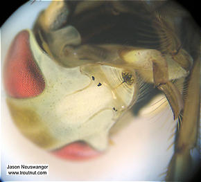 I really like this view through the microscope of a water boatman's mouth and metallic-looking compound eyes.  Corixidae (Water Boatmen) Water Boatman Adult from Fall Creek in New York