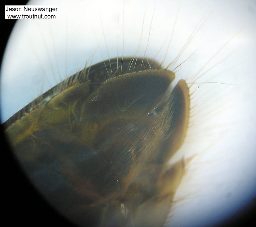 Sigara Water Boatman Adult from Fall Creek in New York