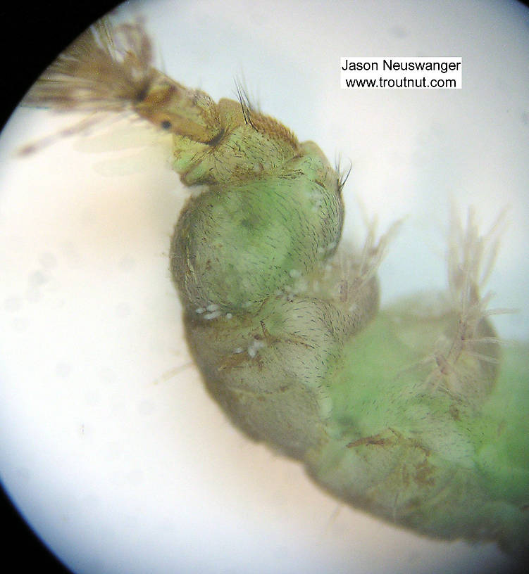 Hydropsychidae Caddisfly Larva from Fall Creek in New York