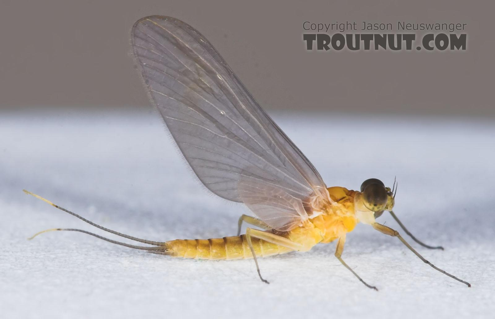 Male Nixe inconspicua Mayfly Dun from the East Branch of the Delaware River in New York