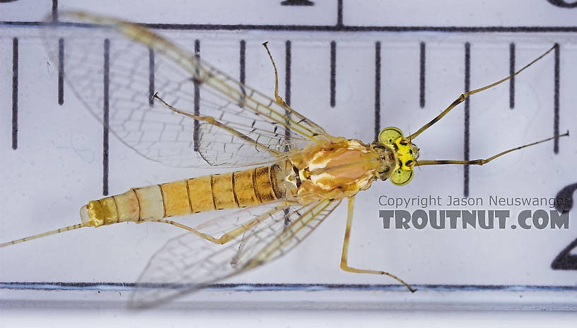 Female Stenacron (Light Cahills) Mayfly Spinner from the East Branch of the Delaware River in New York