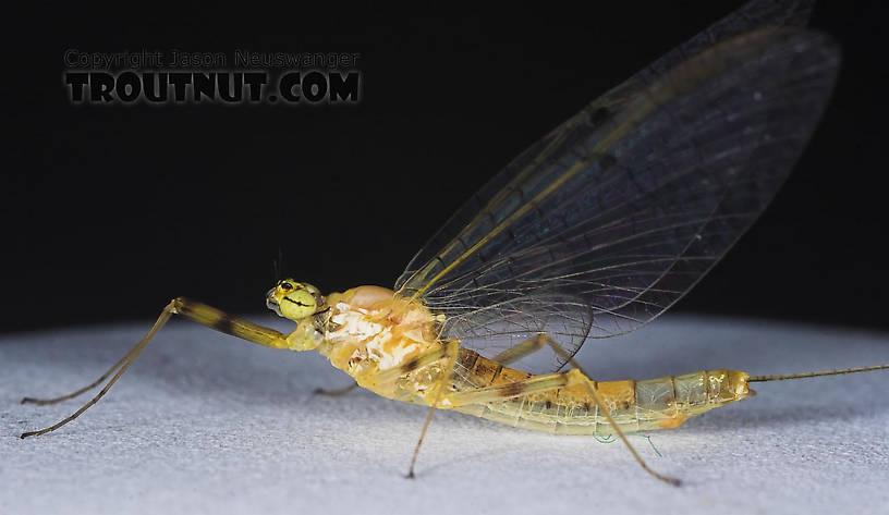 Female Stenacron (Light Cahills) Mayfly Spinner from the East Branch of the Delaware River in New York