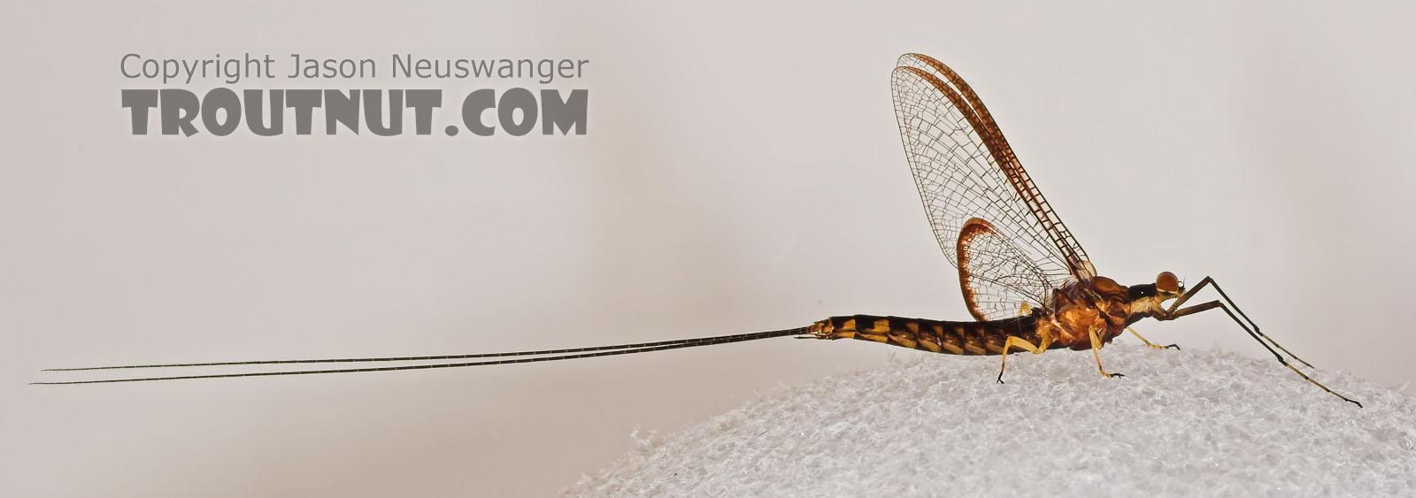 Male Hexagenia atrocaudata (Late Hex) Mayfly Spinner from the Namekagon River in Wisconsin