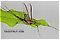 Male Hexagenia atrocaudata (Late Hex) Mayfly Spinner