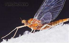 Female Ephemerellidae (Hendricksons, Sulphurs, PMDs, BWOs) Mayfly Spinner