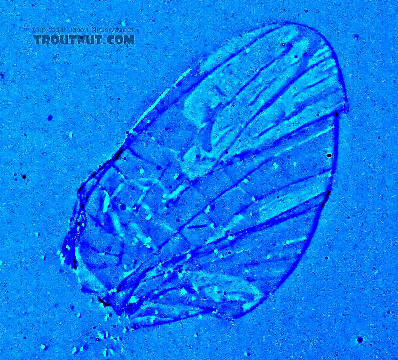 Oblique lighting and false color illuminate the vein patterns in this completely transparent hind wing.  Female Ephemerellidae (Hendricksons, Sulphurs, PMDs, BWOs) Mayfly Spinner from the West Fork of the Chippewa River in Wisconsin