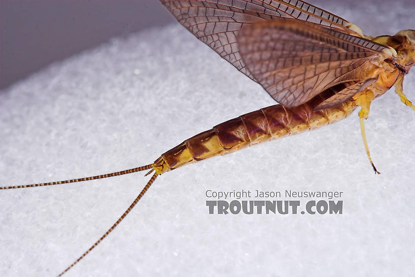 Female Hexagenia atrocaudata (Late Hex) Mayfly Dun from the Teal River in Wisconsin