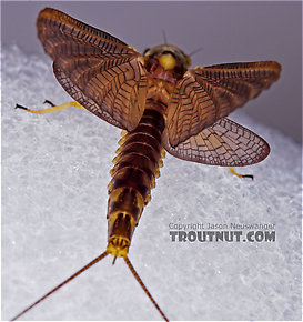 Female Hexagenia atrocaudata (Late Hex) Mayfly Dun