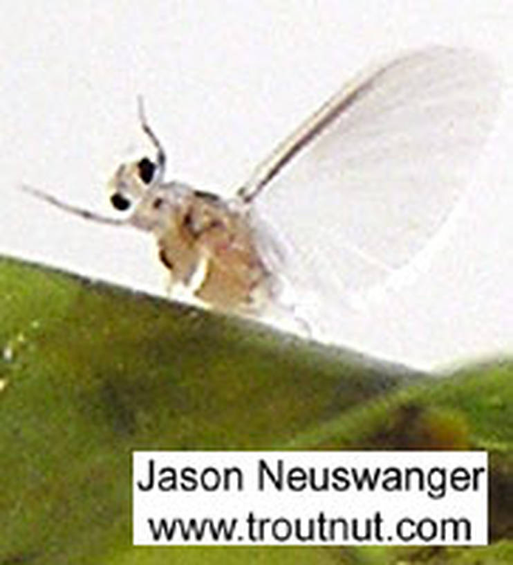 Here's a goofy picture of a Caenis dun falling off the back of a leaf, never to be seen again.  These mayflies are very tiny and fragile, and very hard to capture and photograph without damaging. This little dun hatched from the nymph in a tub of nymphs while I was picking through for aquatic specimens to photograph... I grabbed the leaf it hatched onto and tried to take some pictures but it got away after about half a picture.  Caenis (Angler's Curses) Mayfly Dun from unknown in Wisconsin