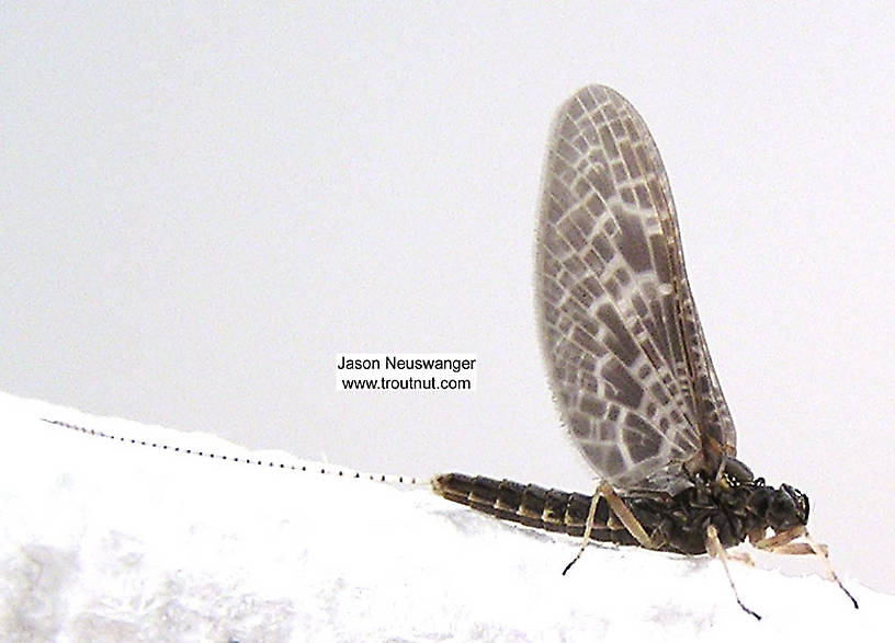 Female Callibaetis ferrugineus (Speckled Spinner) Mayfly Dun from unknown in Wisconsin