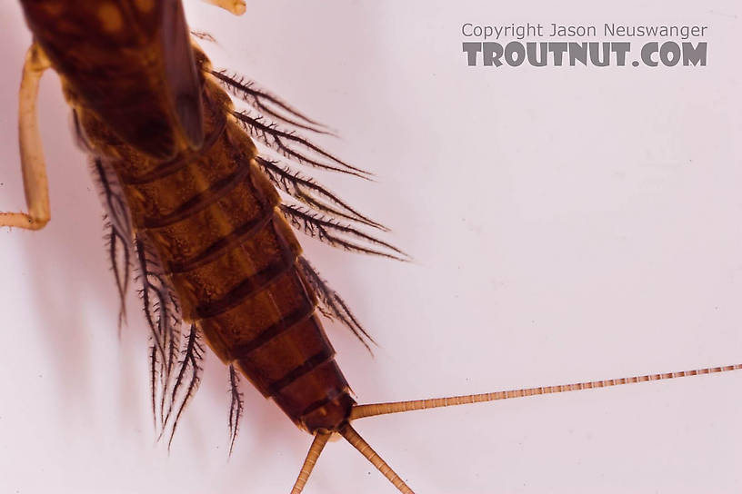 Paraleptophlebia (Blue Quills and Mahogany Duns) Mayfly Nymph from Mongaup Creek in New York