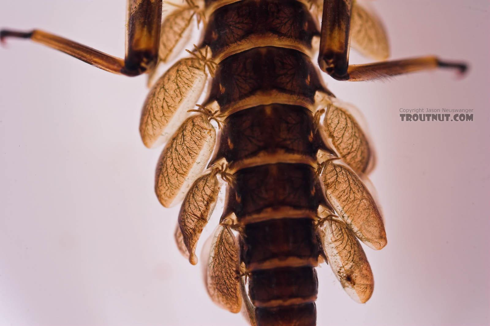 Epeorus pleuralis (Quill Gordon) Mayfly Nymph from Mongaup Creek in New York