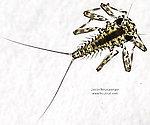 Epeorus vitreus (Sulphur) Mayfly Nymph