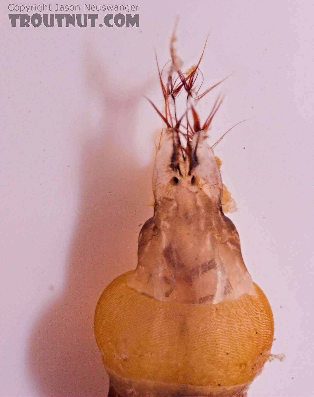 Hexatoma True Fly Larva from Mongaup Creek in New York