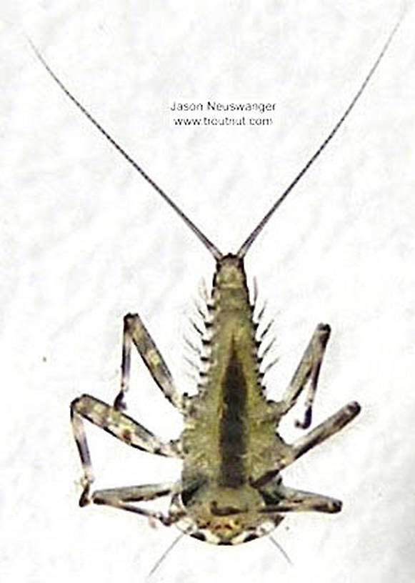 Epeorus vitreus (Sulphur) Mayfly Nymph from the Namekagon River in Wisconsin