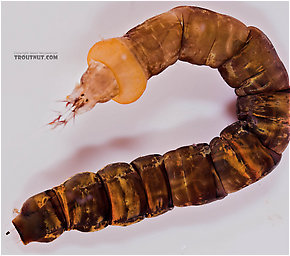Hexatoma  True Fly Larva