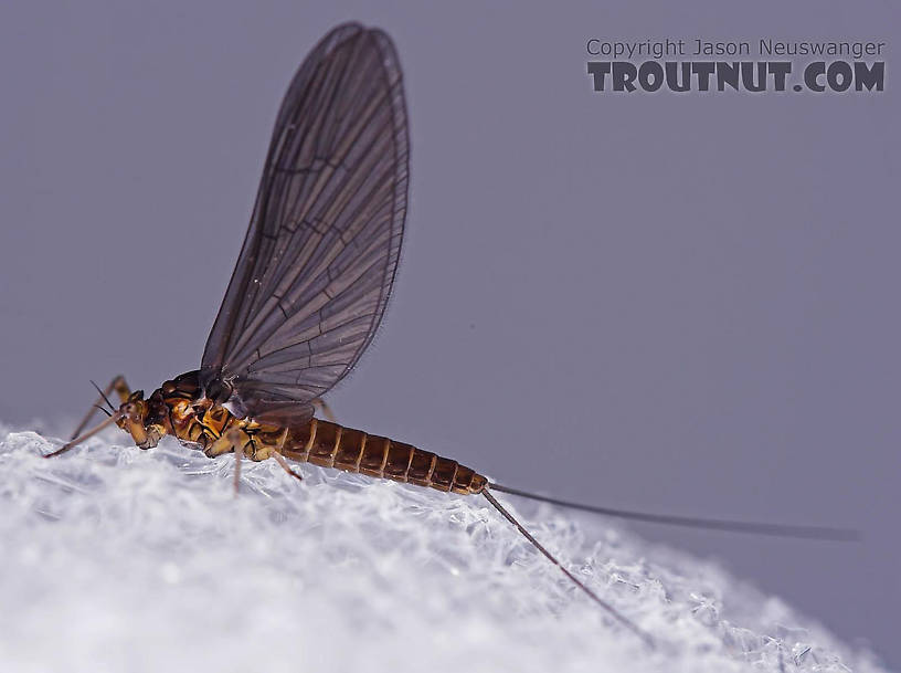 Female Baetis (Blue-Winged Olives) Mayfly Dun from Mongaup Creek in New York