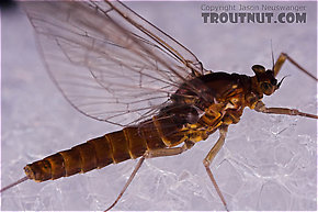 Female Baetis (Blue-Winged Olives) Mayfly Spinner