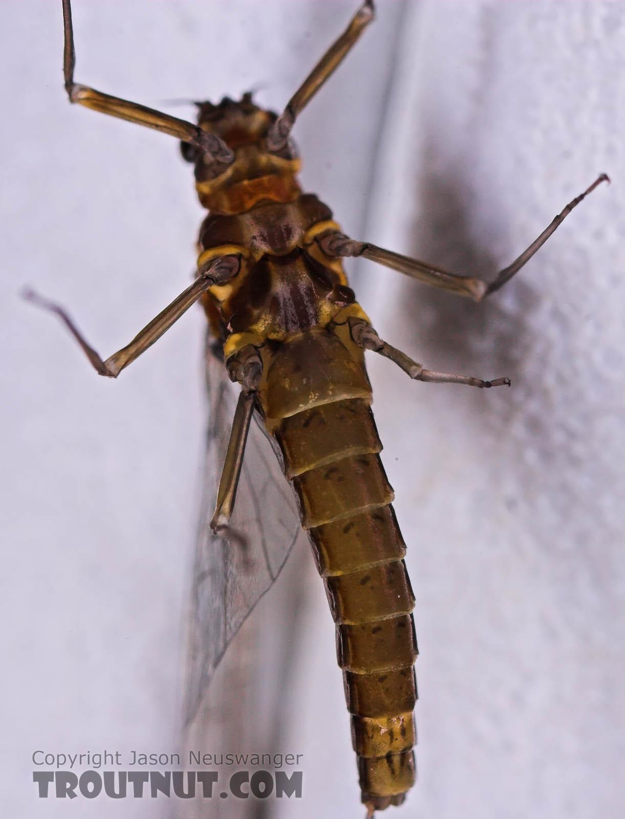 Female Baetis (Blue-Winged Olives) Mayfly Spinner from Mongaup Creek in New York