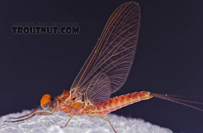 Male Ephemerella subvaria (Hendrickson) Mayfly Dun from the Beaverkill River in New York