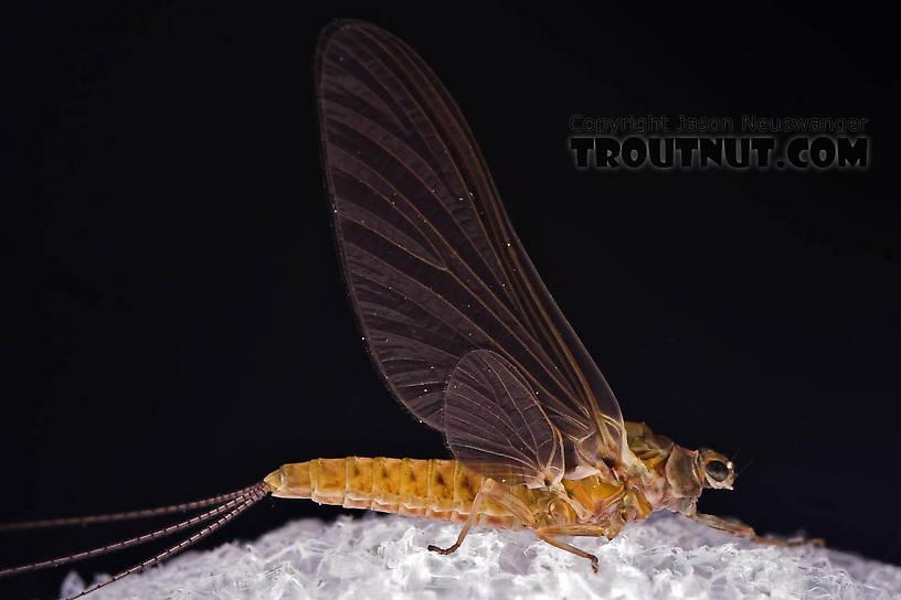 Female Ephemerella subvaria (Hendrickson) Mayfly Dun from the Beaverkill River in New York