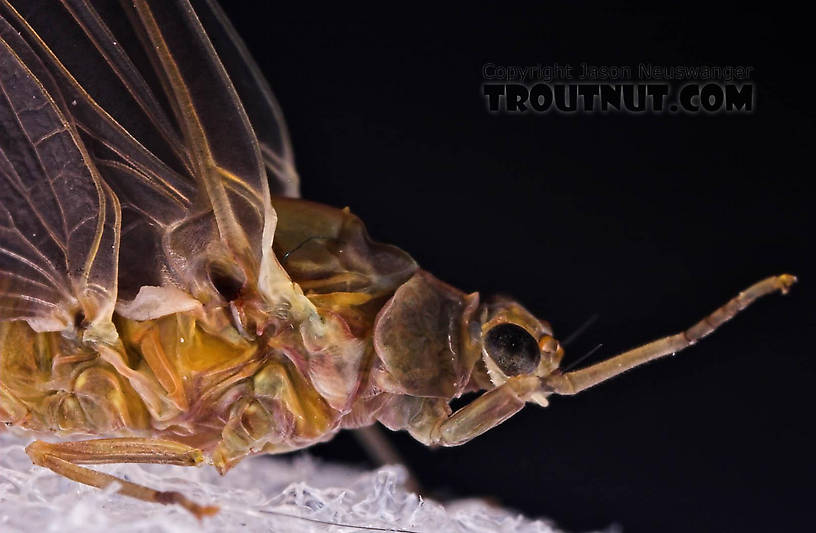 Female Ephemerella subvaria (Hendrickson) Mayfly Dun from the Beaverkill River in New York