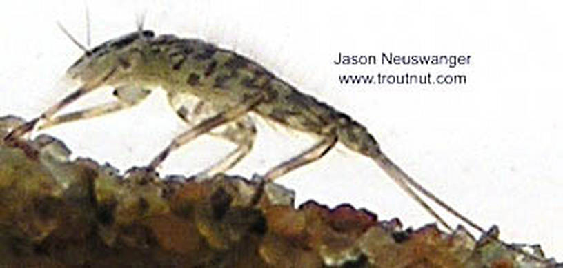 Epeorus vitreus (Sulphur) Mayfly Nymph from unknown in Wisconsin