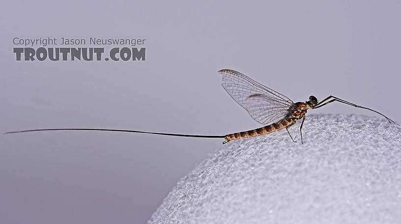 Male Epeorus pleuralis (Quill Gordon) Mayfly Spinner from Mongaup Creek in New York