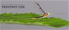 Male Leucrocuta hebe (Little Yellow Quill) Mayfly Spinner