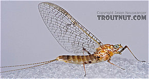 Female Maccaffertium (March Browns and Cahills) Mayfly Spinner