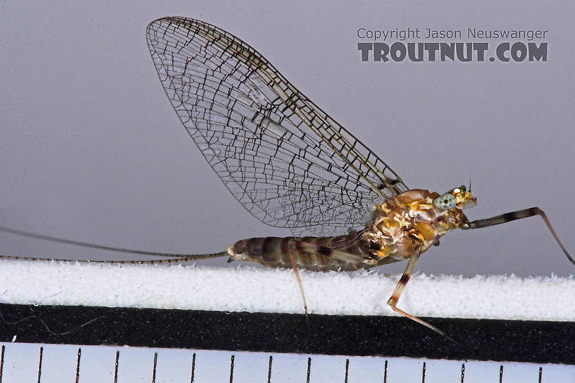 Female Maccaffertium (March Browns and Cahills) Mayfly Spinner from the Bois Brule River in Wisconsin