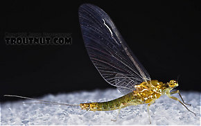 Female Ephemerella excrucians (Pale Morning Dun) Mayfly Spinner