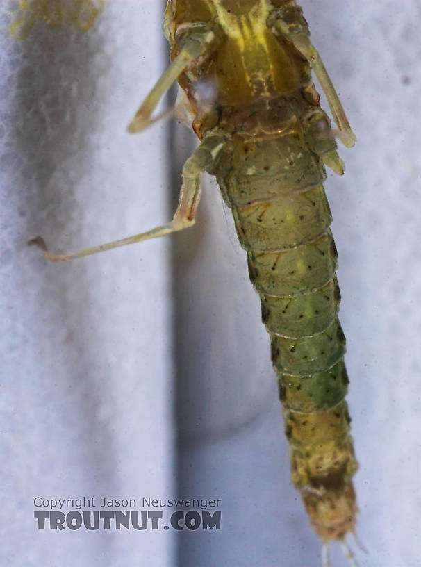 Female Ephemerella excrucians (Pale Morning Dun) Mayfly Spinner from the Bois Brule River in Wisconsin