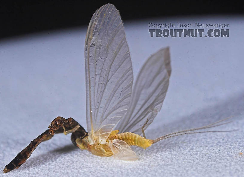 Female Ephemerellidae (Hendricksons, Sulphurs, PMDs, BWOs) Mayfly Dun from the Bois Brule River in Wisconsin