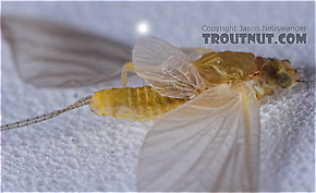 Female Ephemerellidae (Hendricksons, Sulphurs, PMDs, BWOs) Mayfly Dun