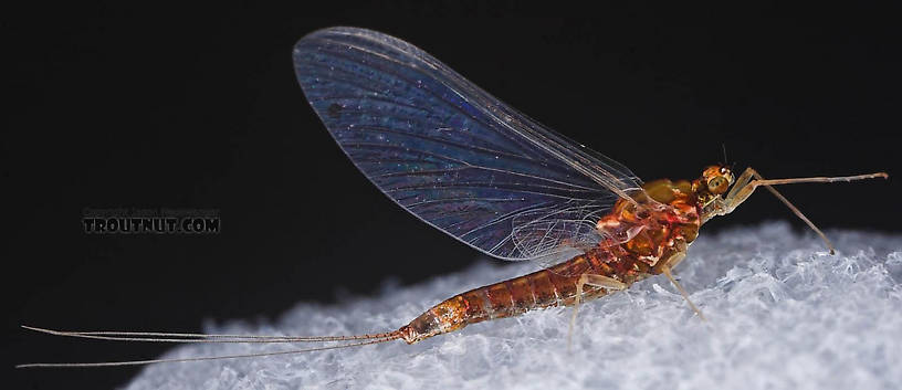 Female Ephemerellidae (Hendricksons, Sulphurs, PMDs, BWOs) Mayfly Spinner from the Bois Brule River in Wisconsin