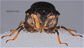 Cicadidae (Cicadas) True Bug Adult
