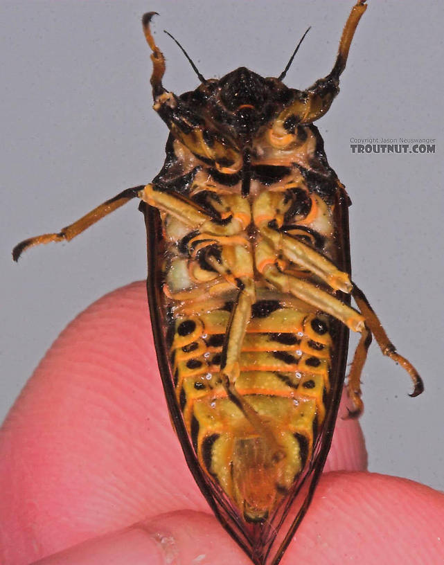 Cicadidae (Cicadas) Cicada Adult from the Bois Brule River in Wisconsin